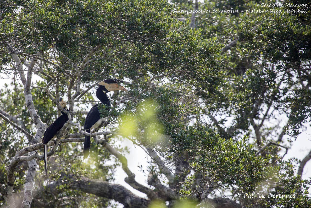 Sri Lanka - Calao de Malabar