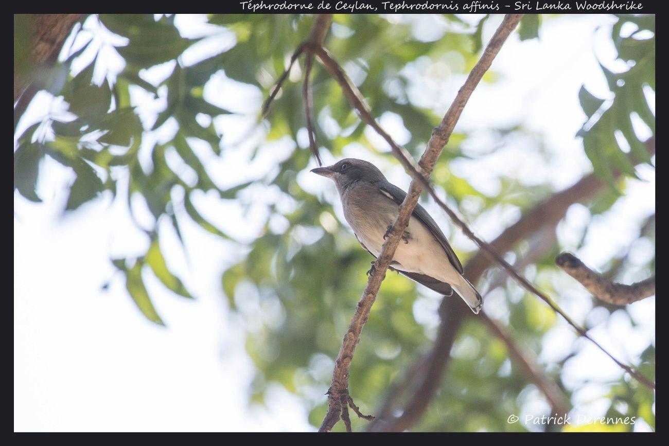 Sri Lanka - Téphrodorne de Ceylan