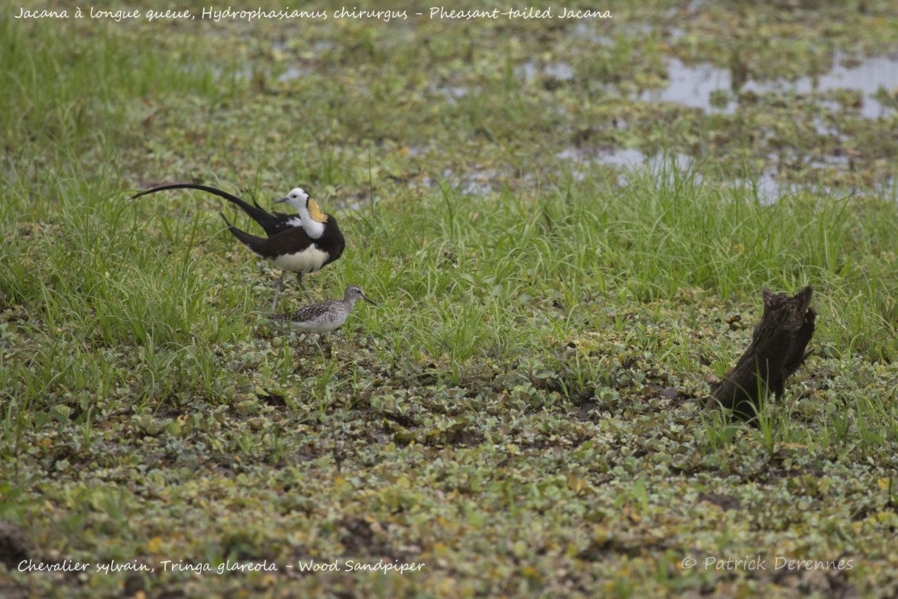 Sri Lanka - Jacana à longue queue