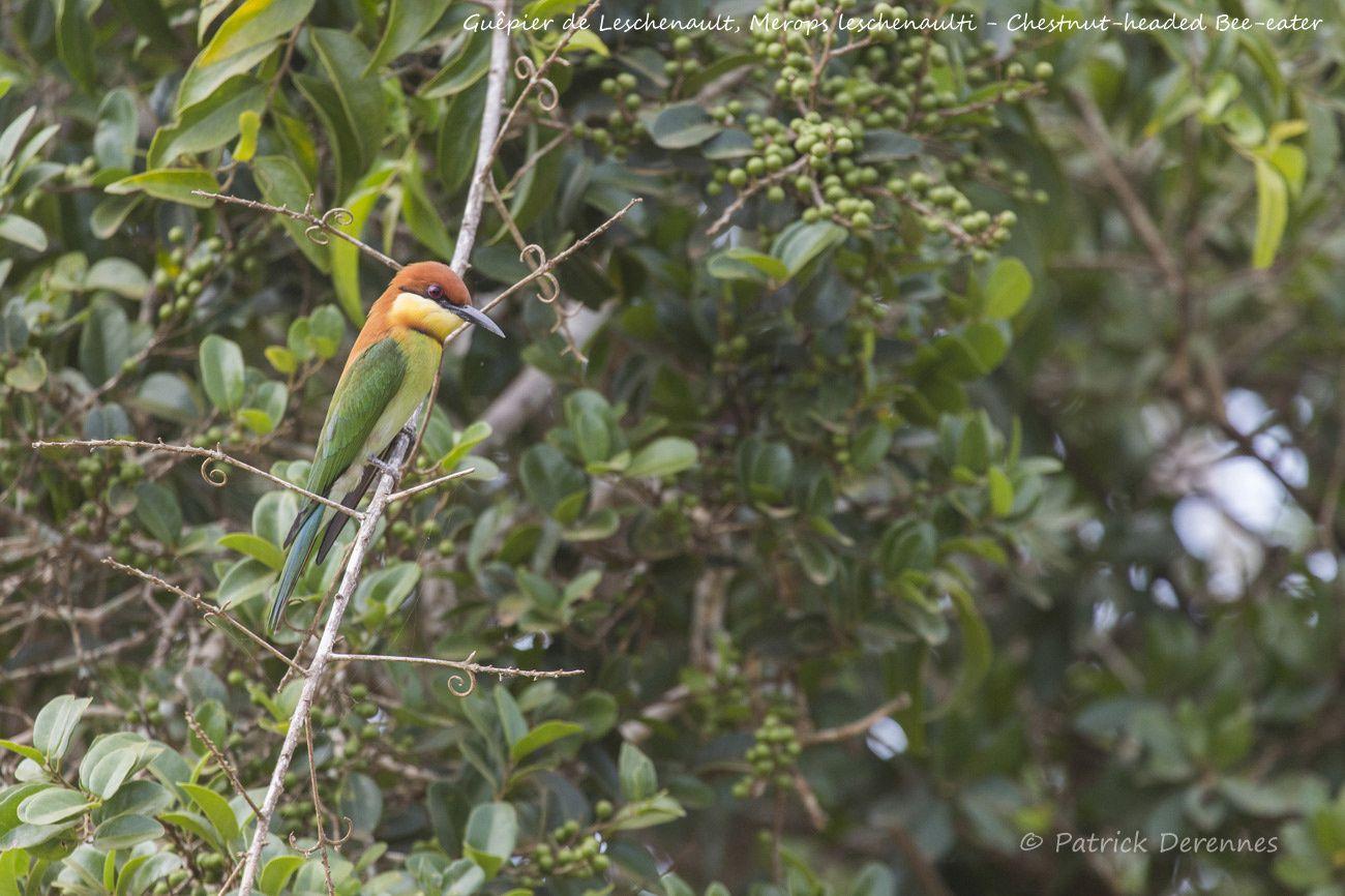 Sri Lanka - Guêpier de Leschenault