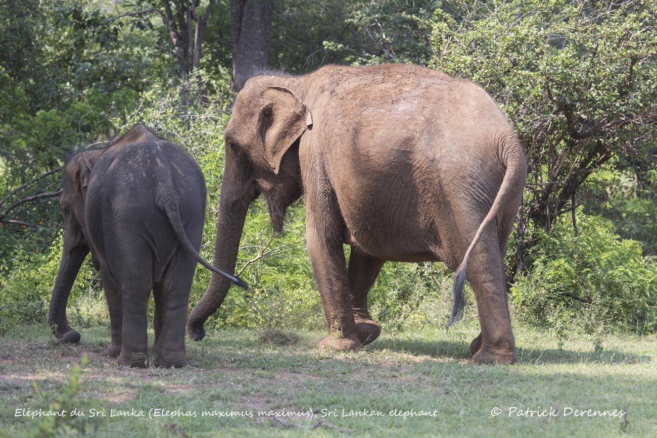 Sri Lanka - Éléphant