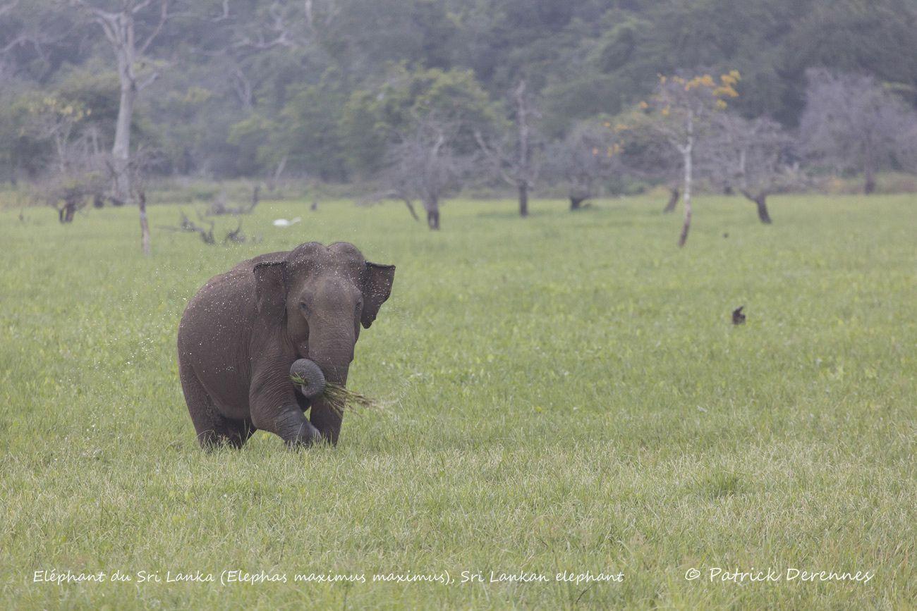 Sri Lanka - Éléphants