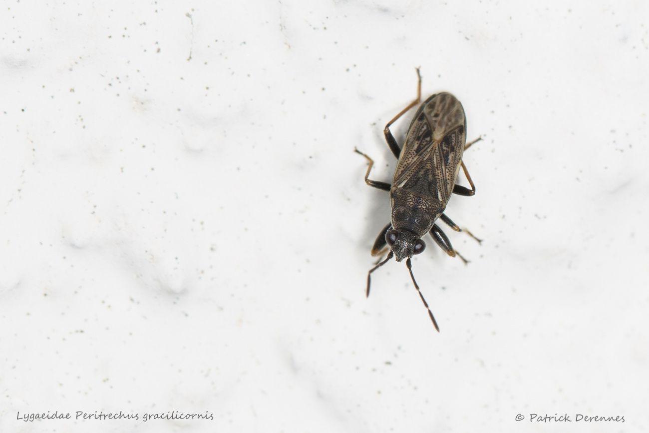 Lygaeidae Peritrechus gracilicornis