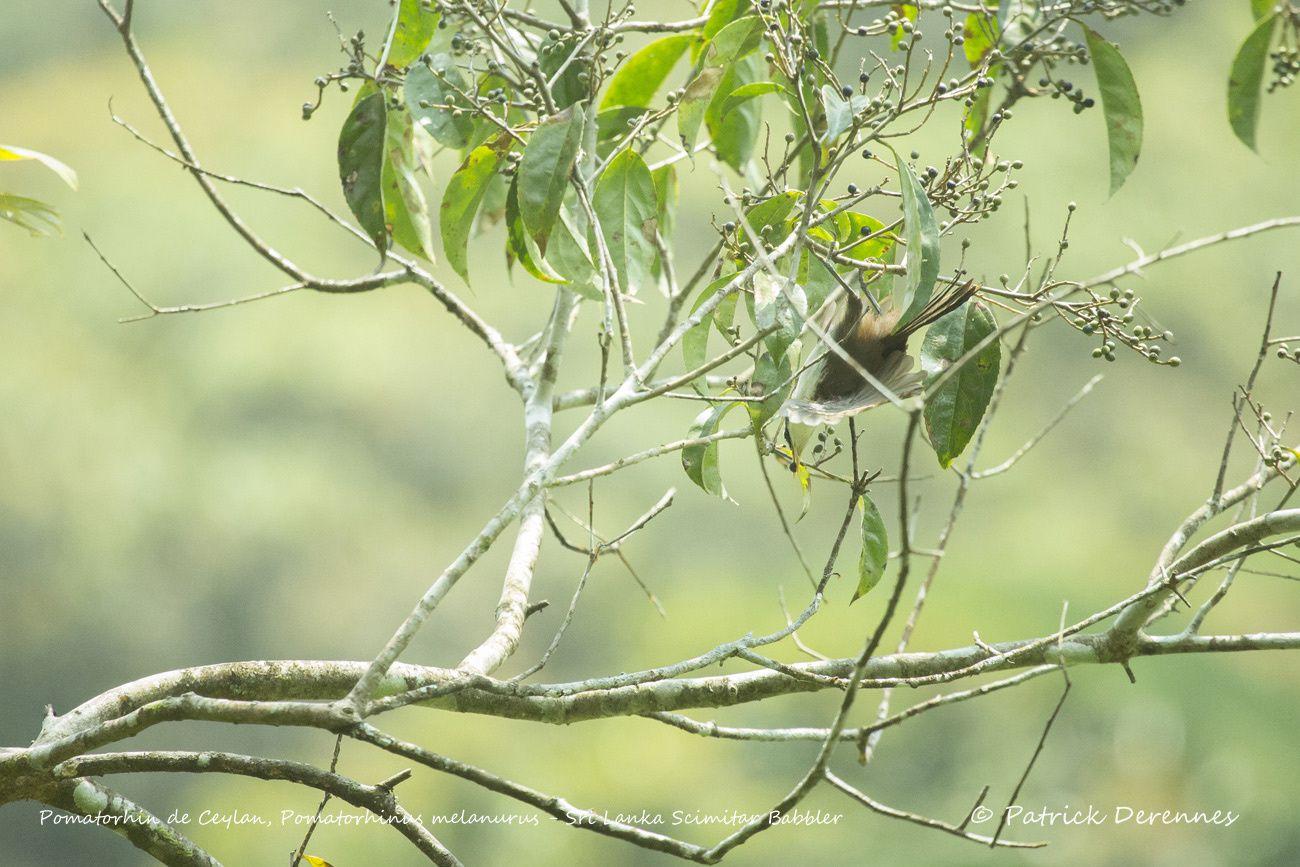 Sri Lanka - Pomatorhin de Ceylan