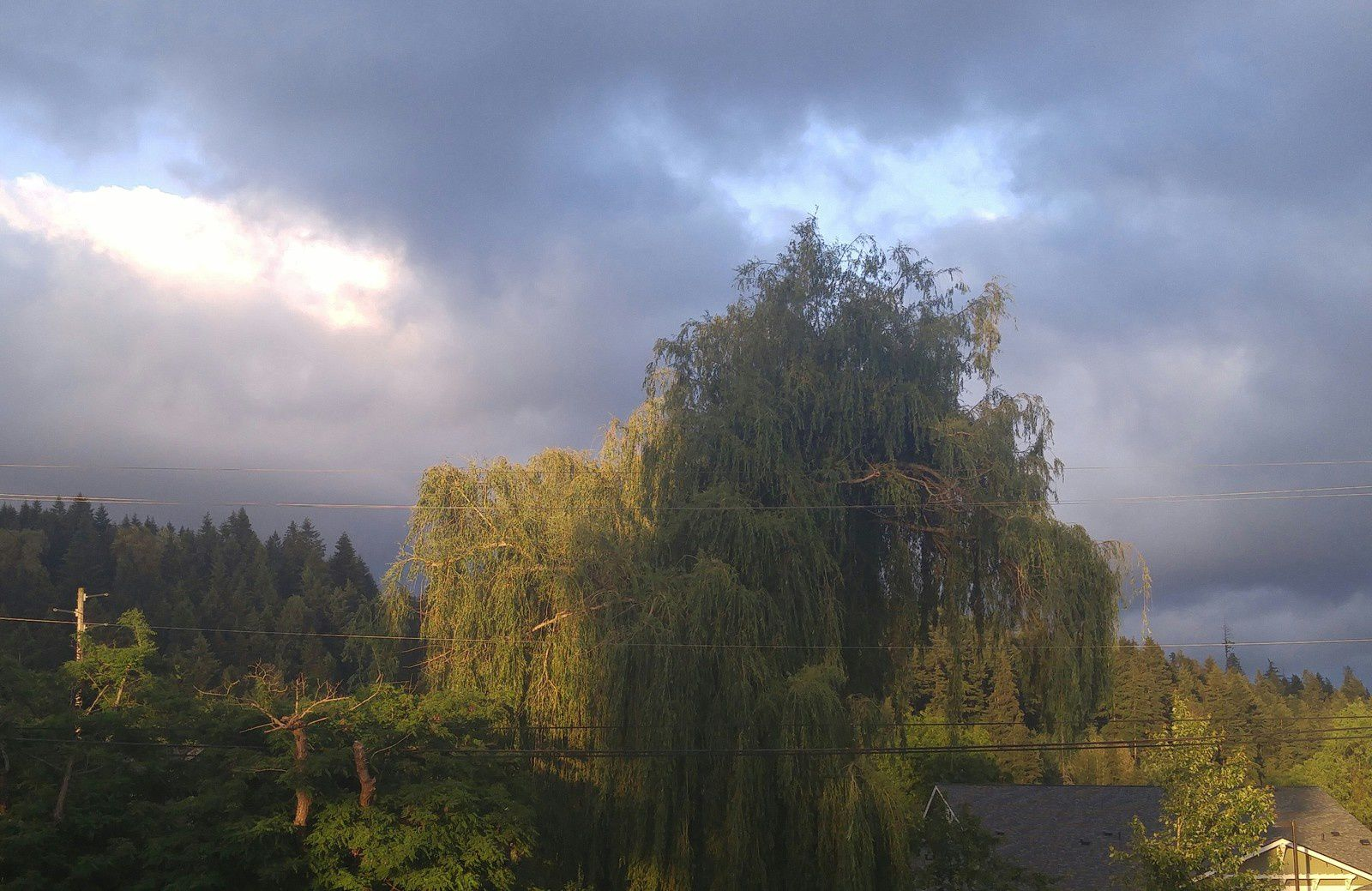 Willow at twilight - May, 18th 2016  © Anne Errelis-Phillips