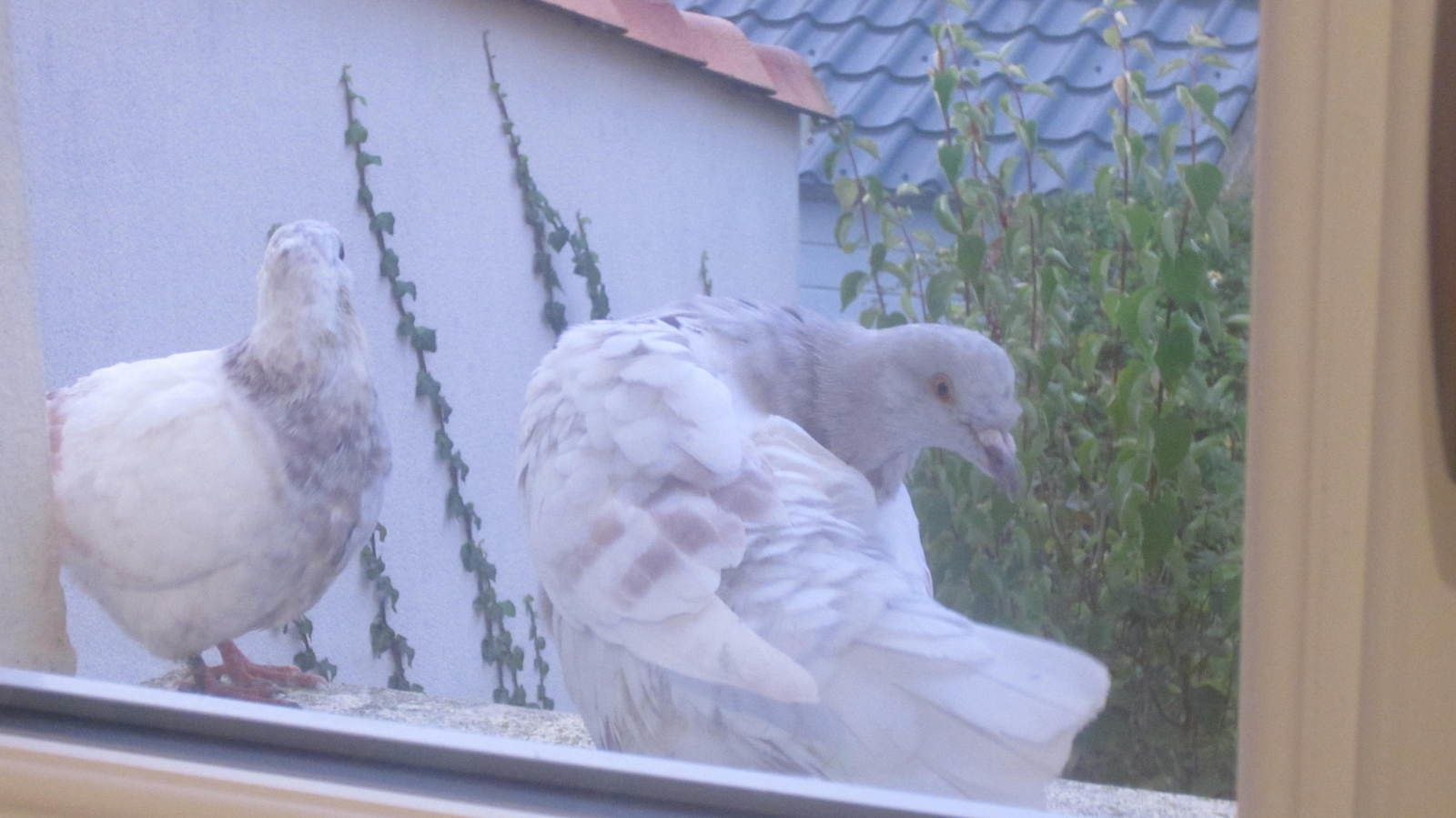 ah oui, n'oublions nos deux nouveaux locataires, ils sont là depuis une semaine, tous les soirs sur le rebord de fenêtre à Zélia, ils laissent une taxe (chiures) chaque jour à voir s'ils continuent leur séjour la semaine prochaine