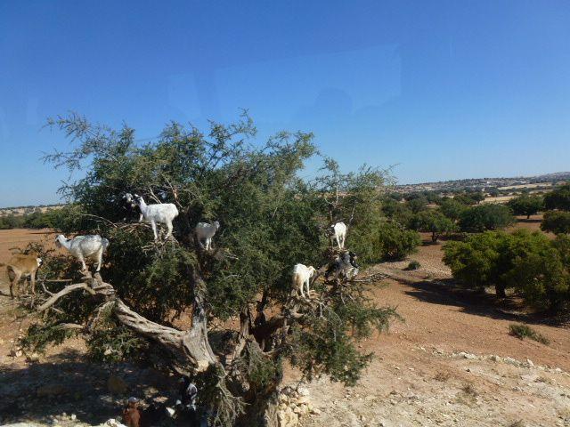 Vous ne rêvez pas, ce sont bien des chèvres sur l'arganier....