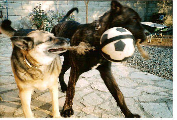 Pui le dernier arrivé à la maison, mon gros nounours Sumo un Dogo Canario (dogue des Îles Canaries), Jepsy était encore avec nous elle avait tout juste 8 ans, Ils s'entendaient à merveille. J'espsy est partie à l'âge de 11 ans. Puis Sumo le 30 Mars 2012 à l'âge de 11 ans, c'est rare pour un molosse de vivre aussi longtemps en prncipe ils ont une espérance de vie de 8 ans. Ca a été très dure et ça l'est encore, c'est pour cela qu'à ce jour je n'ai pas repris d'animaux bien que ça me manque terriblement.