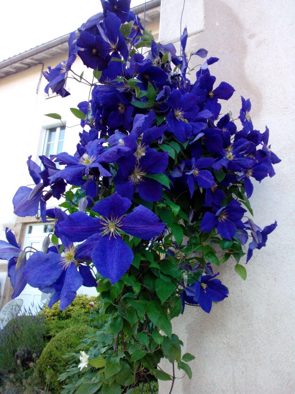Clématite en fleur...