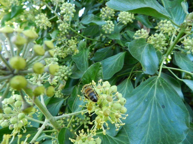 les abeilles butinent et freinent notre marche