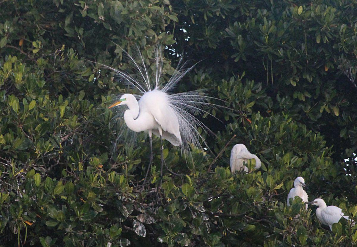 Autre source d'émerveillement lors de cette sortie : de somptueuses Grandes aigrettes (Ardea alba) en parade nuptiale (photo: R.Gomès)