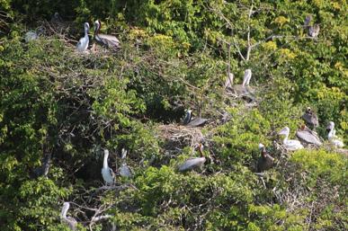 Colonie du Gosier. Au cœur de la colonie, les jeunes au plumage blanc sont très visibles. Au centre un adulte couve encore.