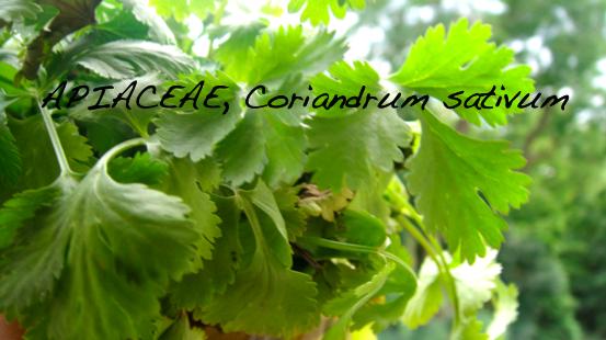 Les fines herbes #7 La coriandre