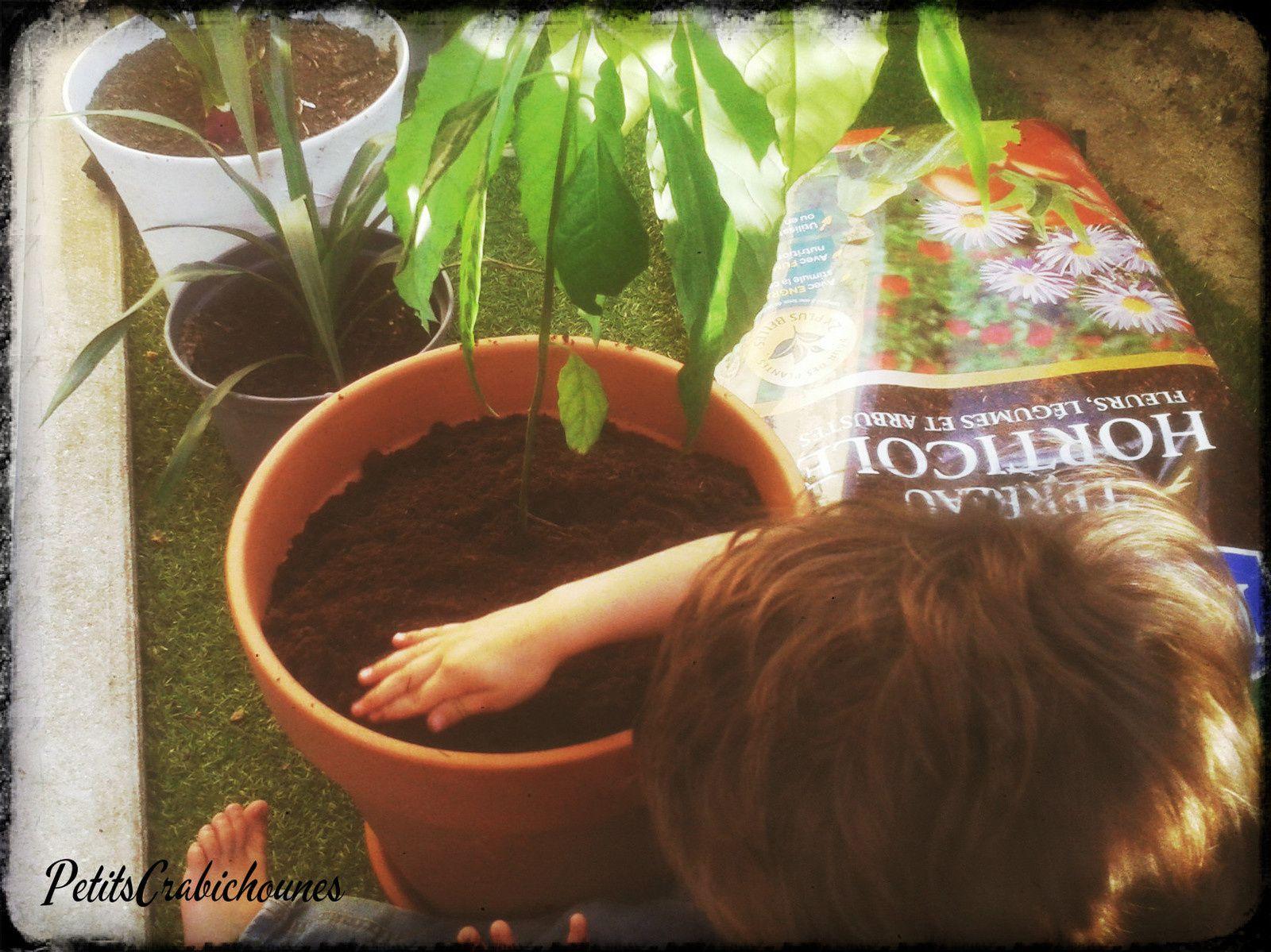Jardinage : Replanter notre avocat.