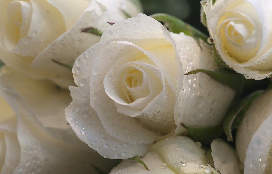 Fleurs - Roses blanches - Perles - Rosée - Wallpaper