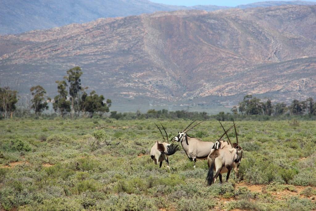 Troupeau d'Oryx en liberté dans la réserve