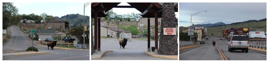Un bison dans la ville !