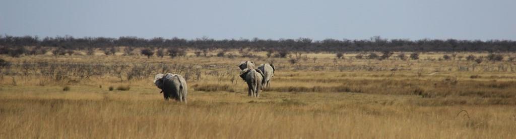 Colonne d'éléphants