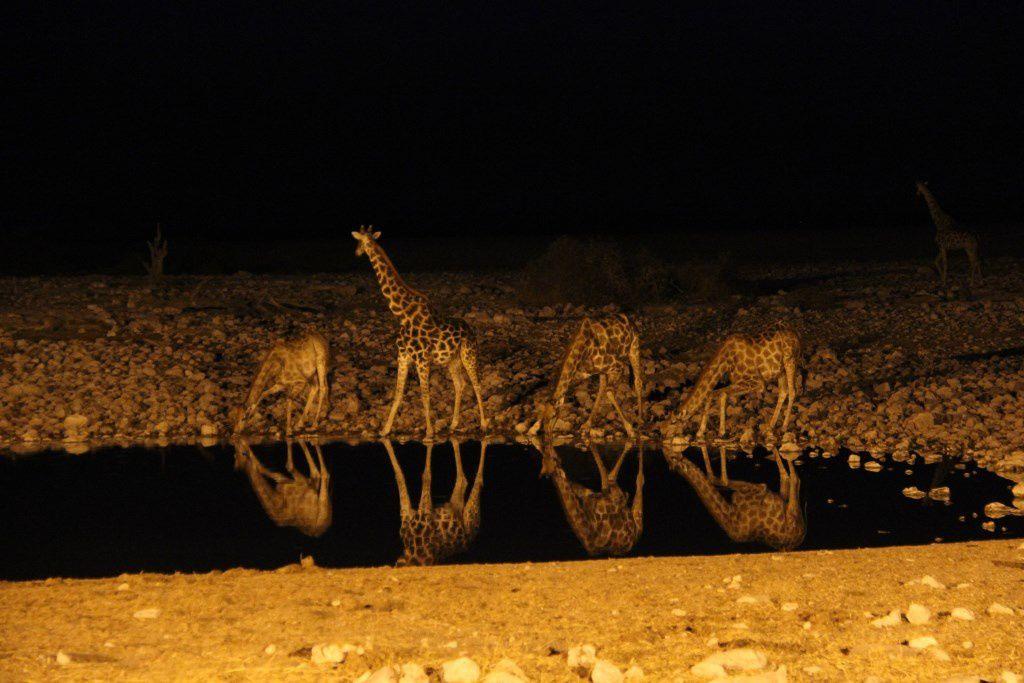 Arrivée des girafes sur le point d'eau d'Okaukuejo