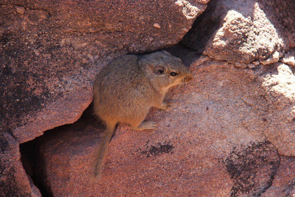 """Rat des rochers ou """"Dassie rat"""" à Twyfelfontein"""