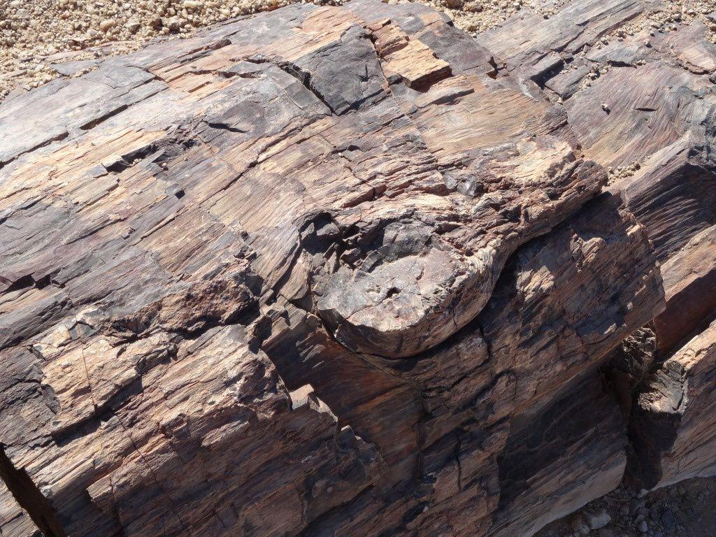 La Petrified Forest et une Welwitschia Mirabilis