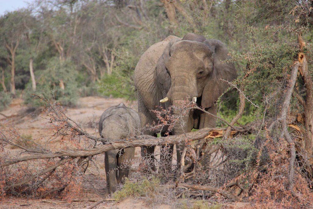 Eléphants du désert