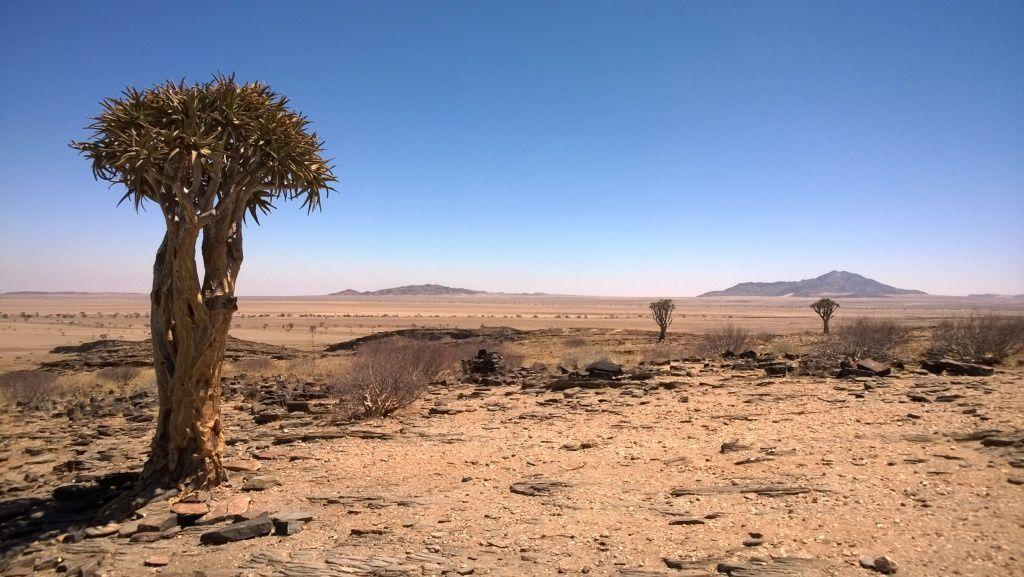 Kokerbooms alias l'arbre-carquois