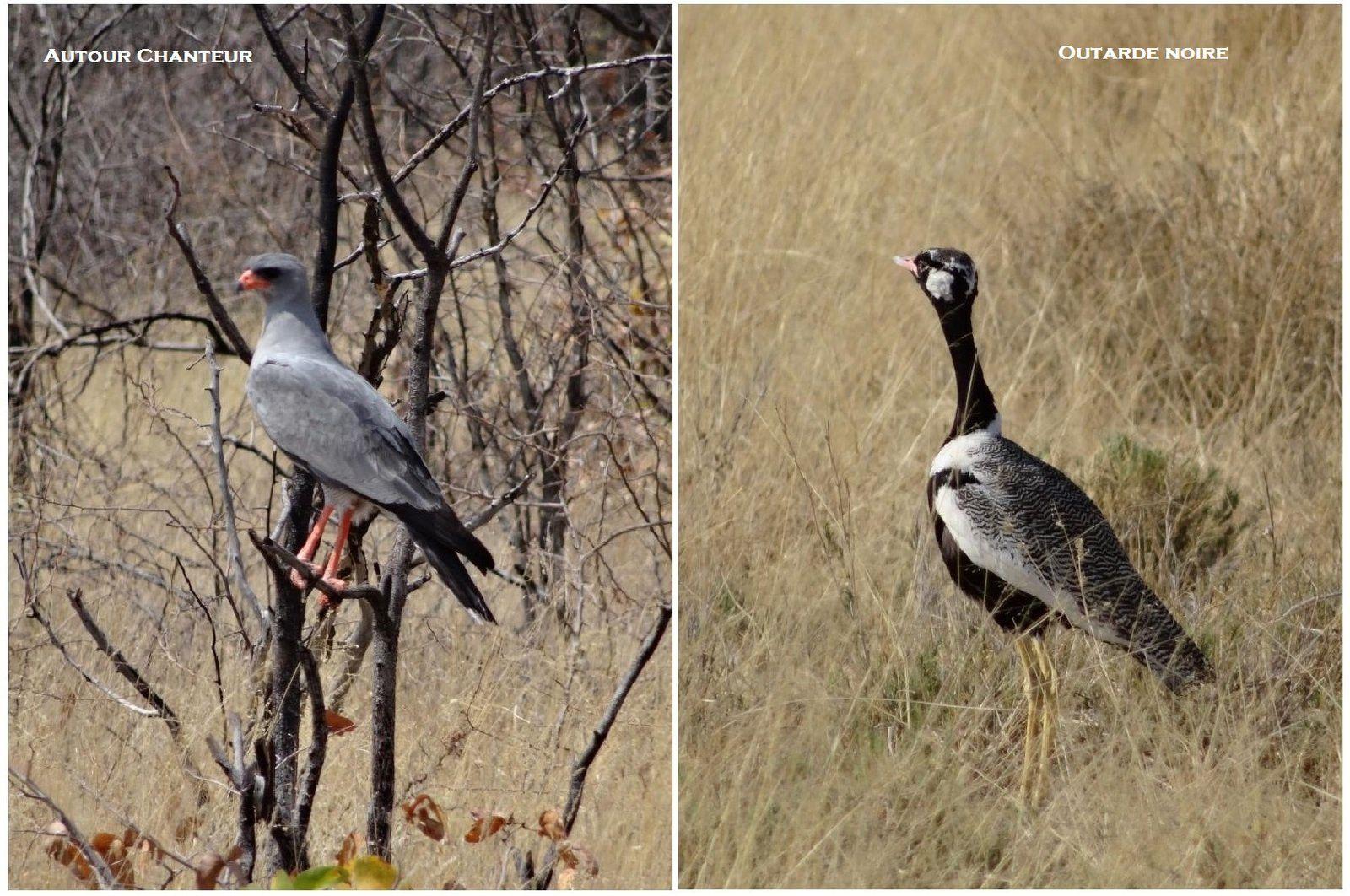 Les oiseaux d'Etosha