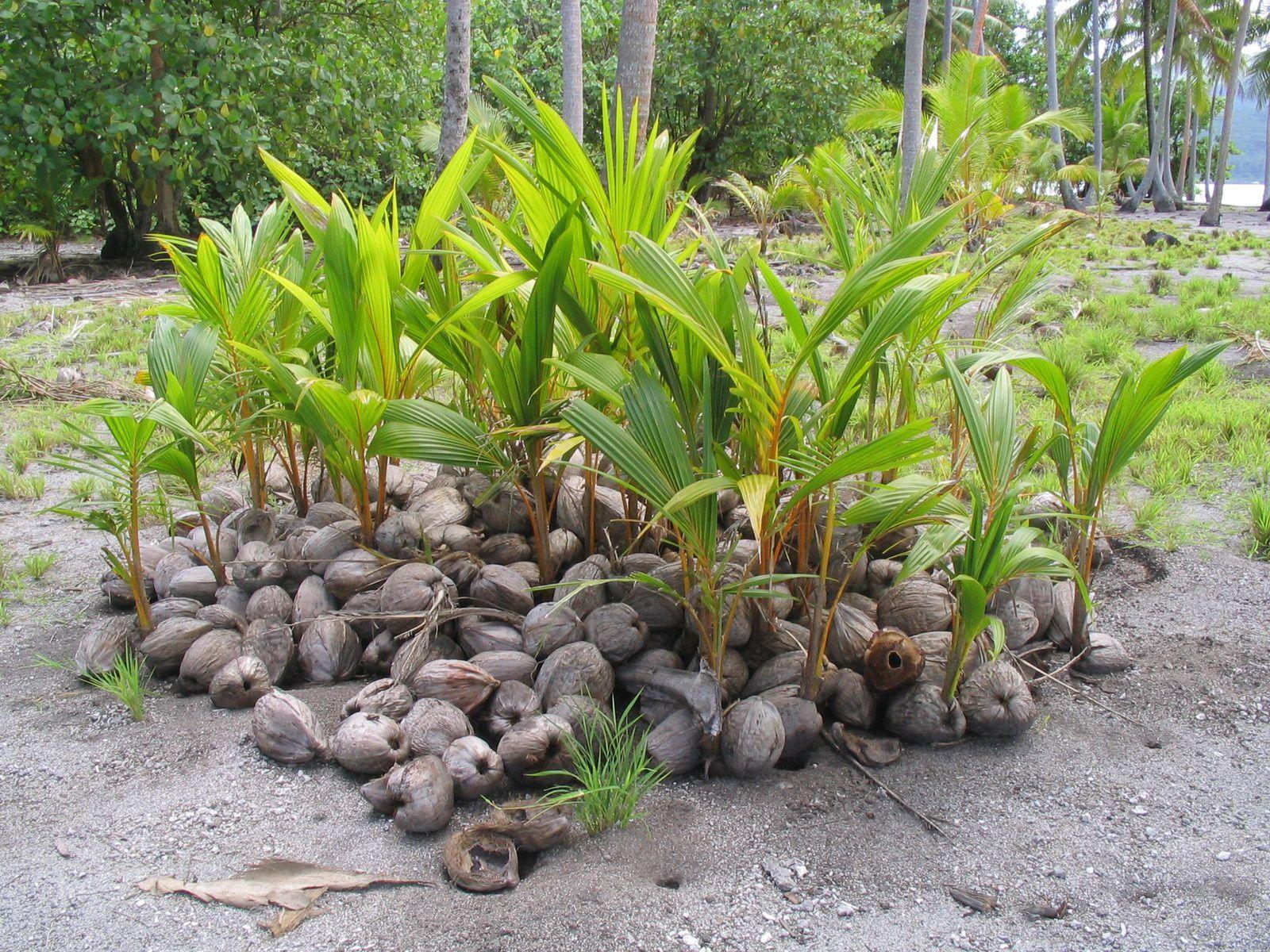 Naissance d'un cocotier