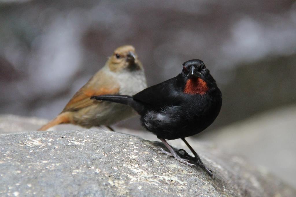 Rouge Gorge mâles (noir) et femelles