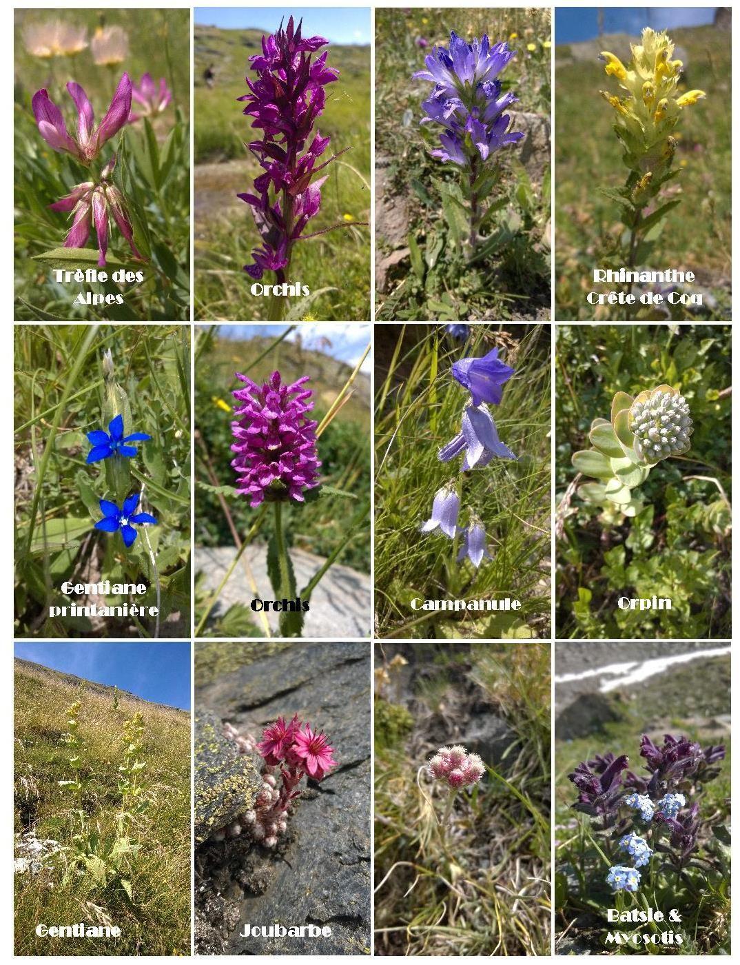 Quelques fleurs du Parc de la Vanoise