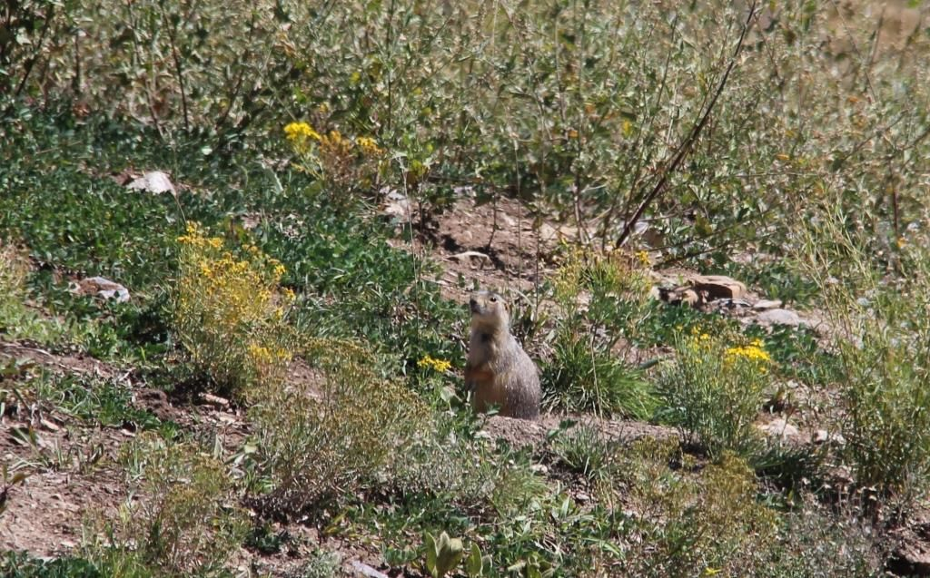 Marmotte mexicaine!
