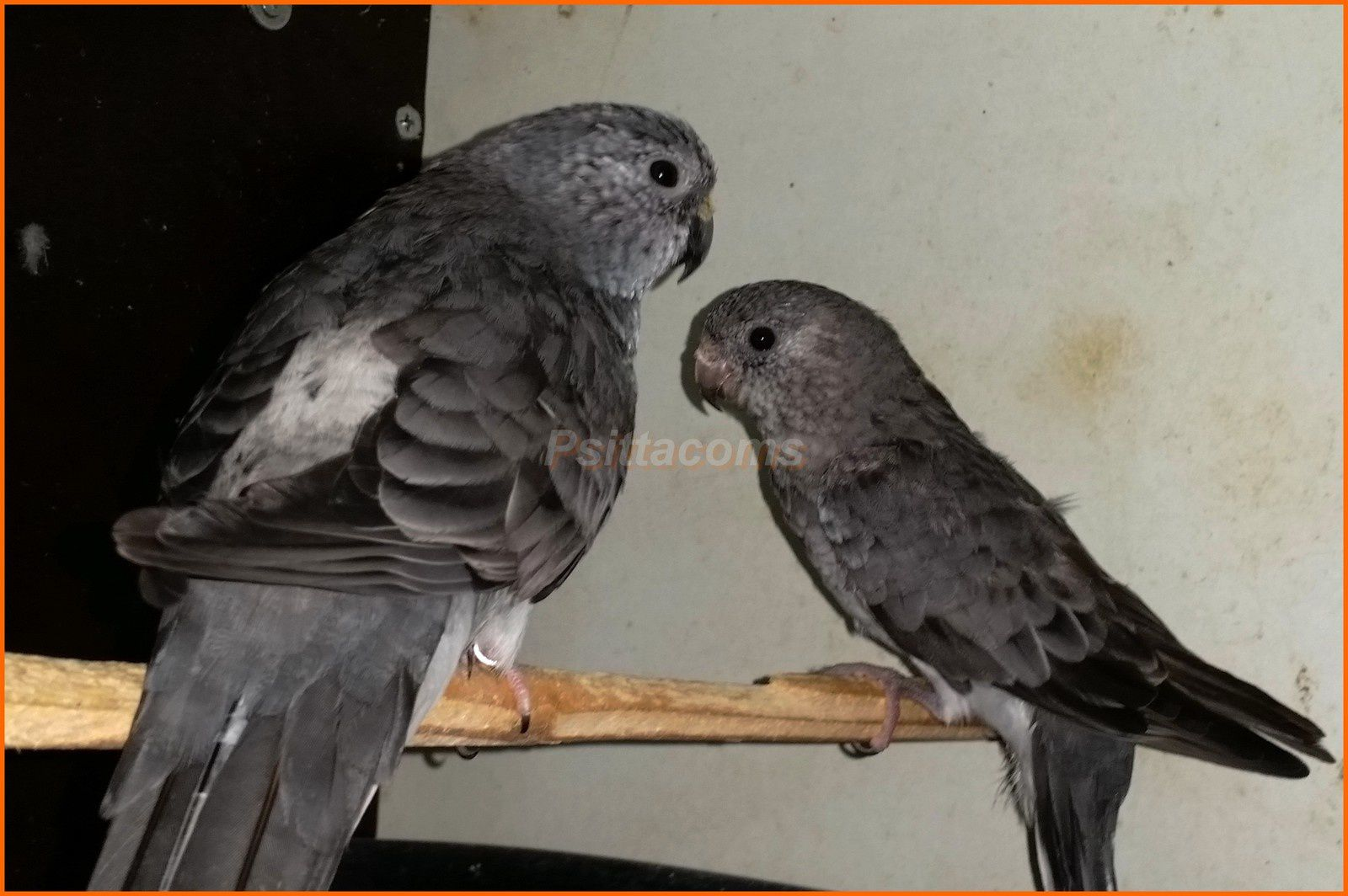 Couple de gris SF