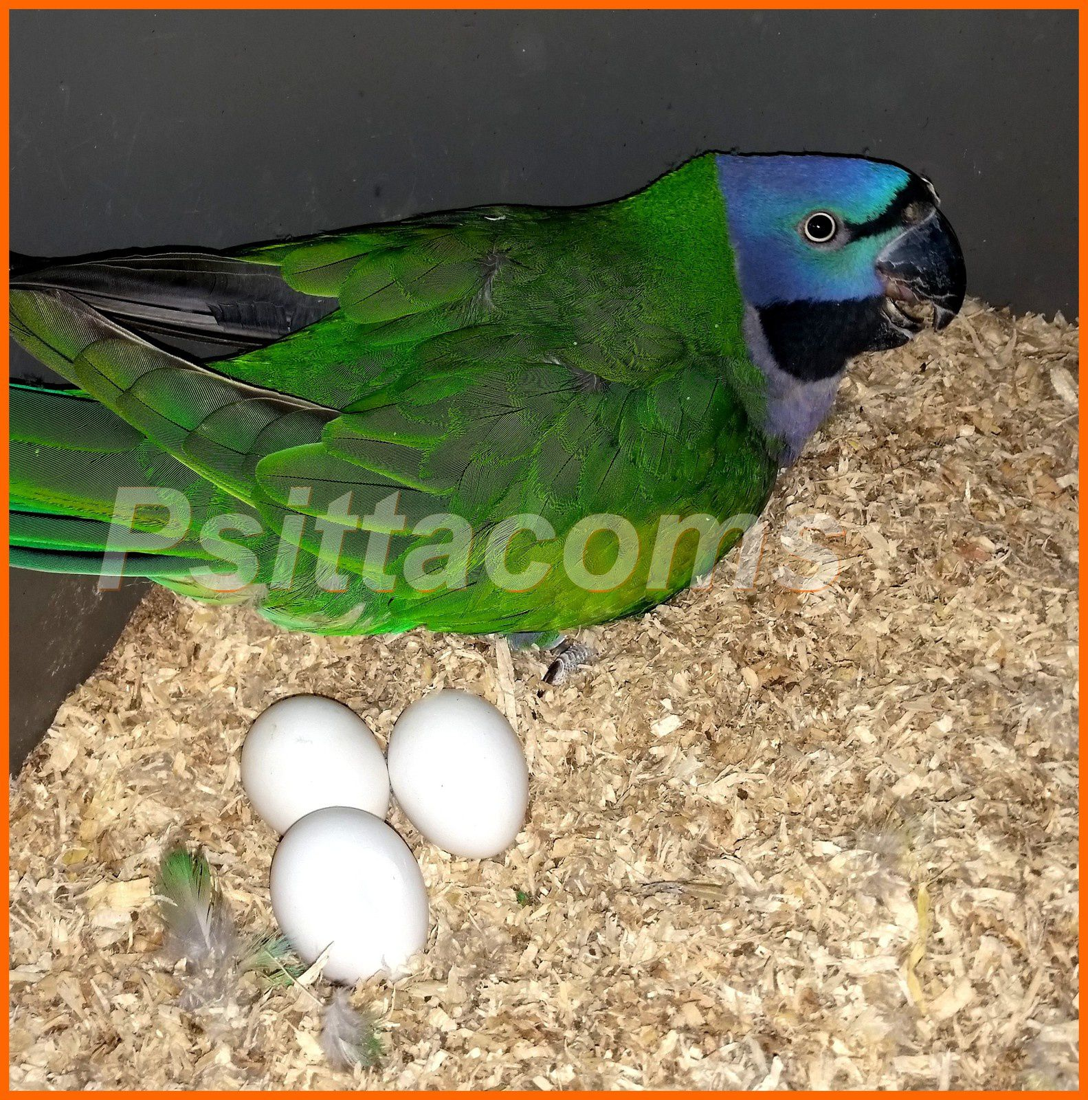 Couple de Derby (psittacula derbyana)