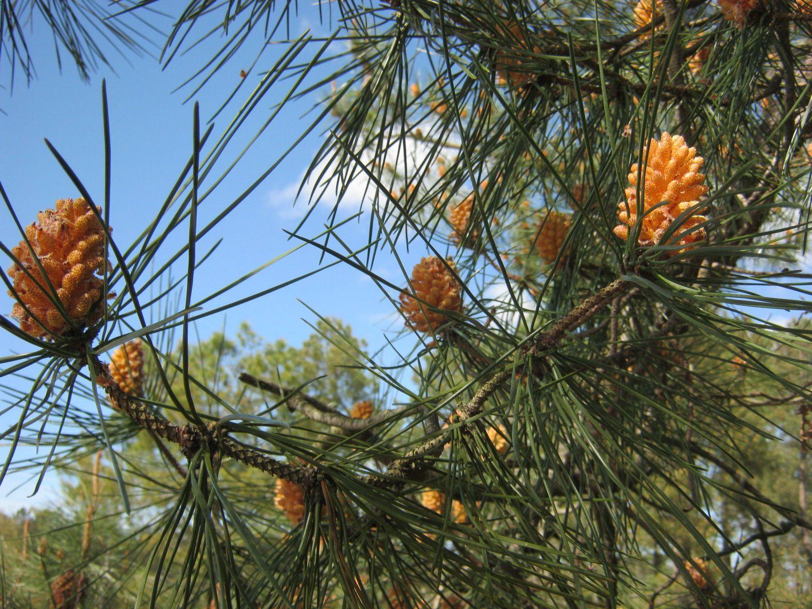 l'origine du pollen jaune, les fleurs du pin