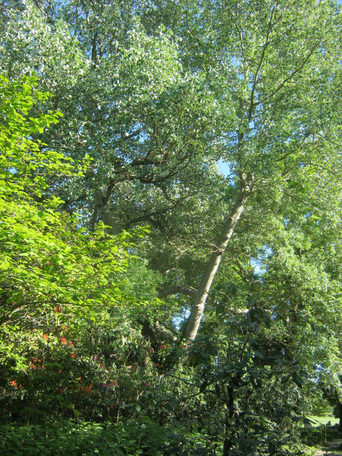 Un arbre remarquable bien protégé, il ne rentre pas dans l'APN