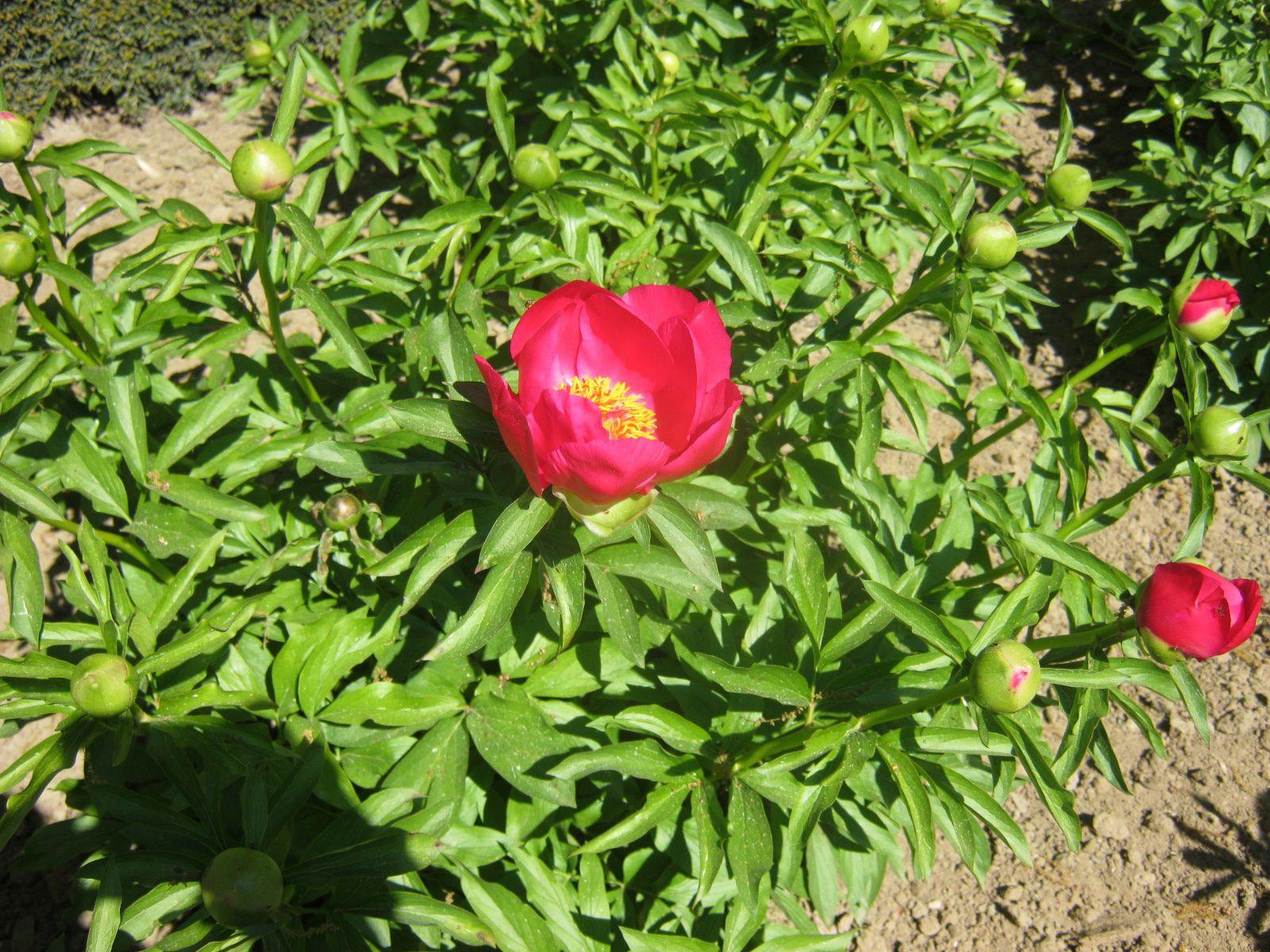 Des fleurs, les pivoines blanches sont très belles