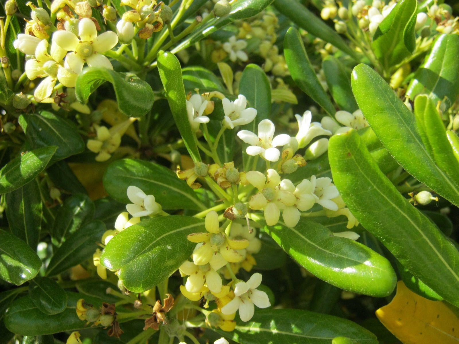 c'est peut être une variété de jasmin, c'est la même odeur - il est déjà 19 heures on reviendra voir la roseraie un autre jour