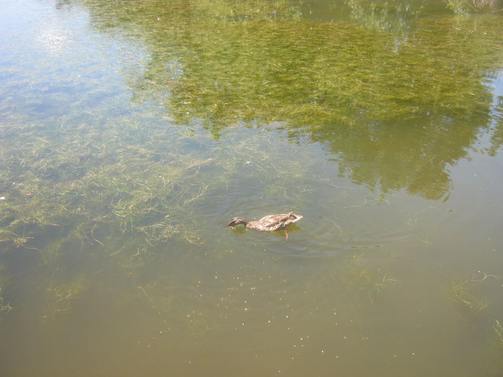 des canards
