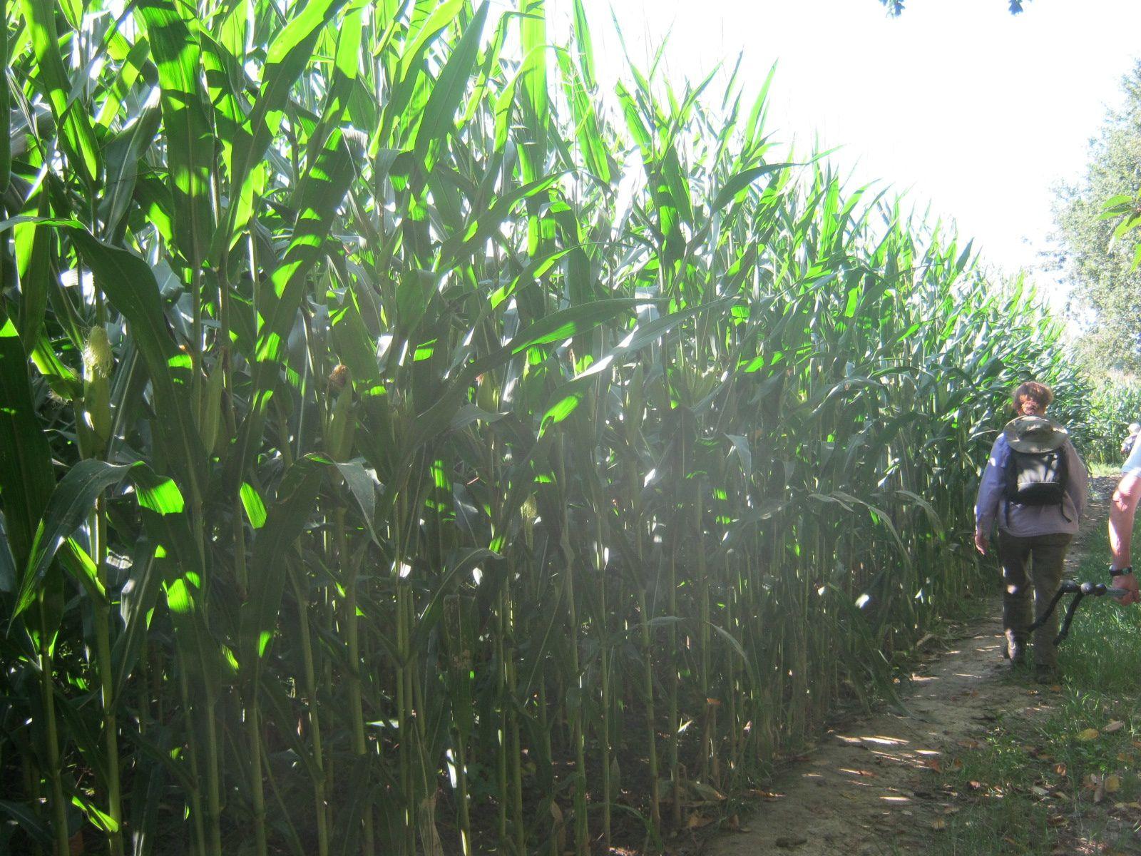 à l'ombre des maïs