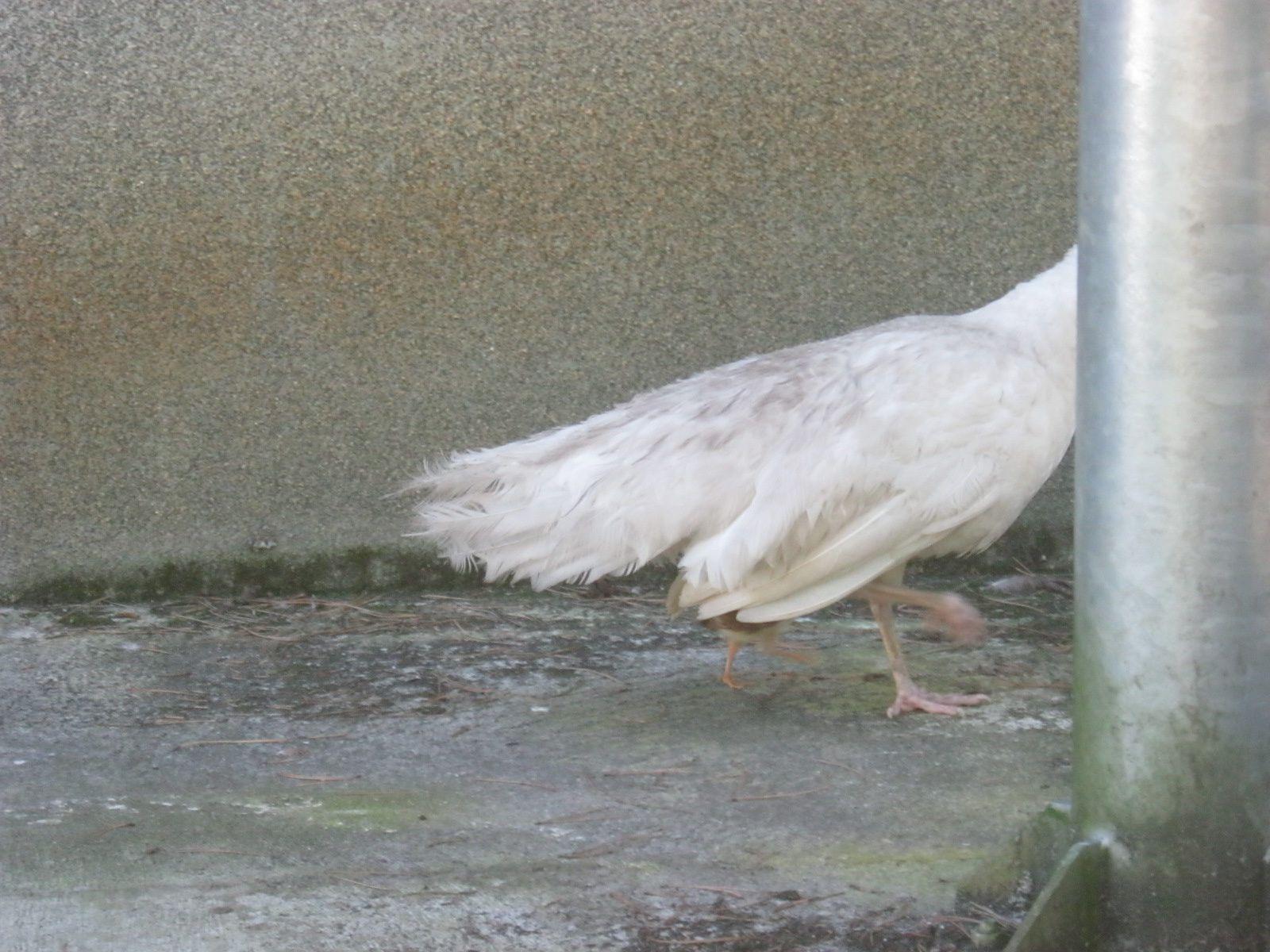 sur la 3ème photo on aperçoit ses pattes dessous sa maman (ça marche vite ces petites bêtes ! )