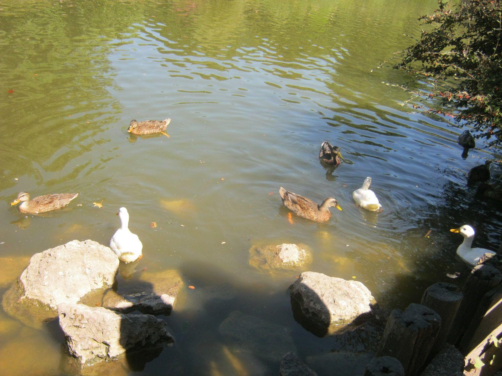 Sur la 1ère des canards de Pékin, sur la 2ème Nestor fait sa sieste