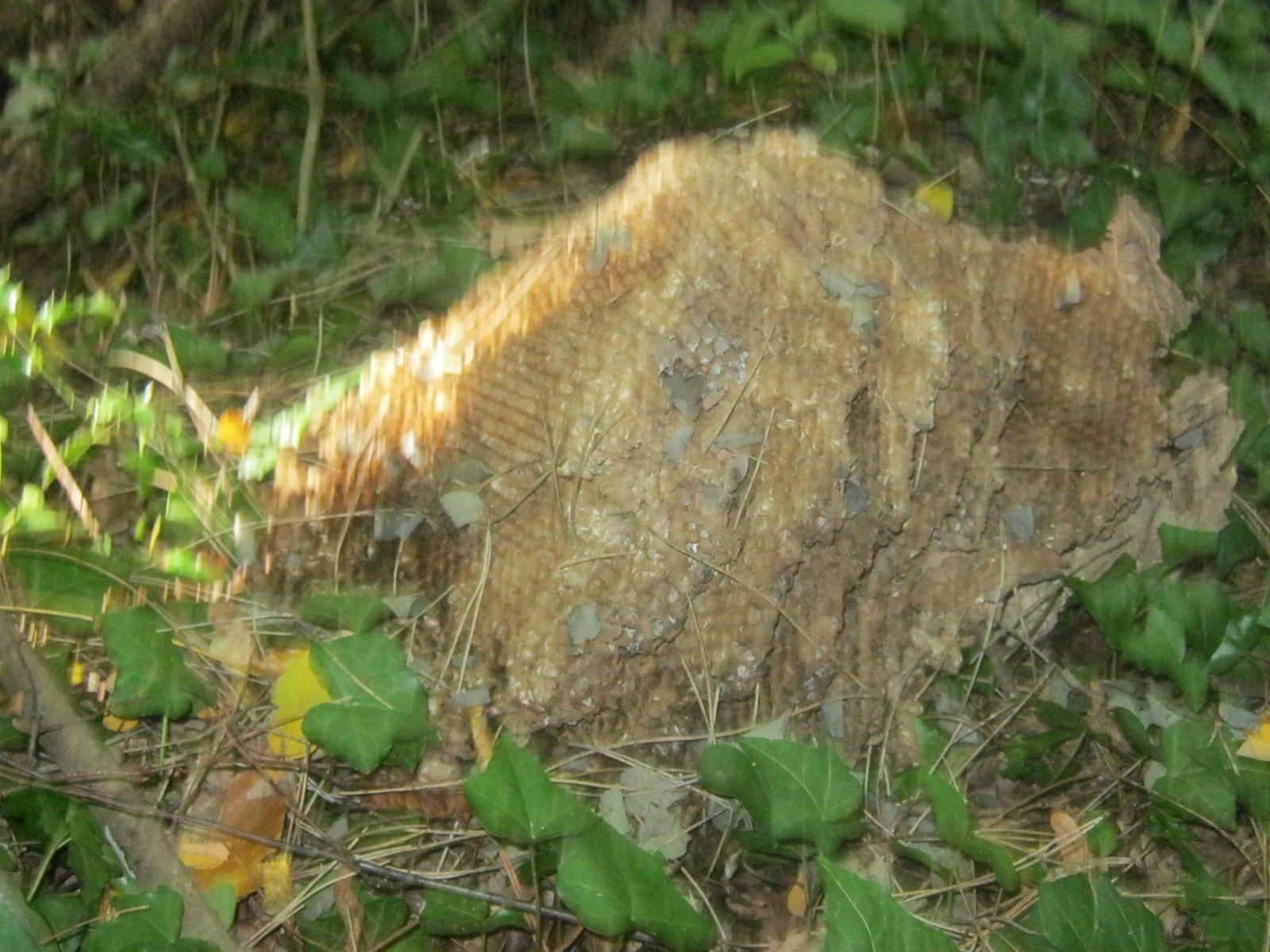 nid de frelons asiatiques tombés sur le sol et trou de renard