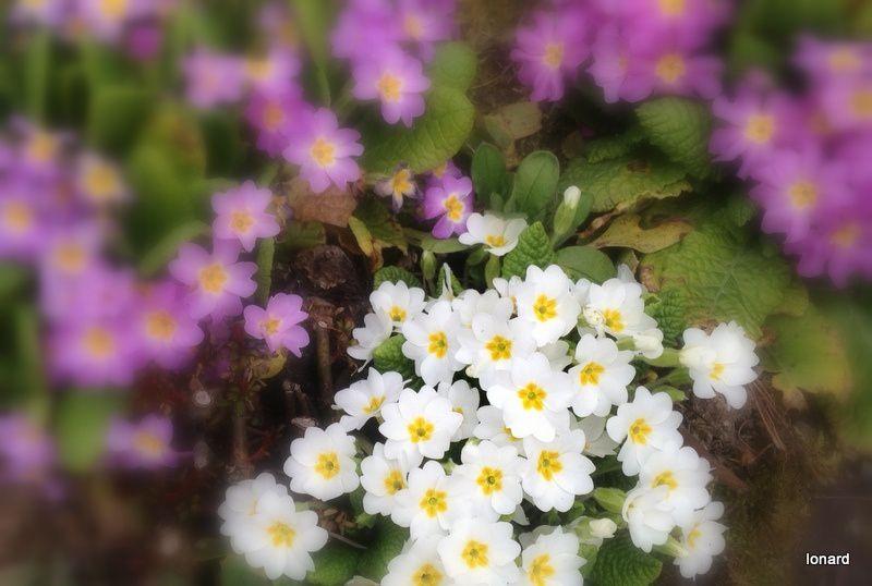 Triste printemps.....