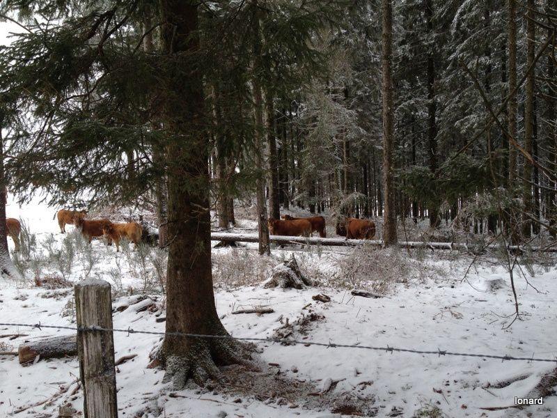 Limousines dans la neige