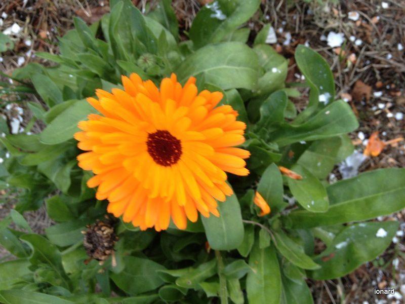 Des soucis .......dans mon jardin!