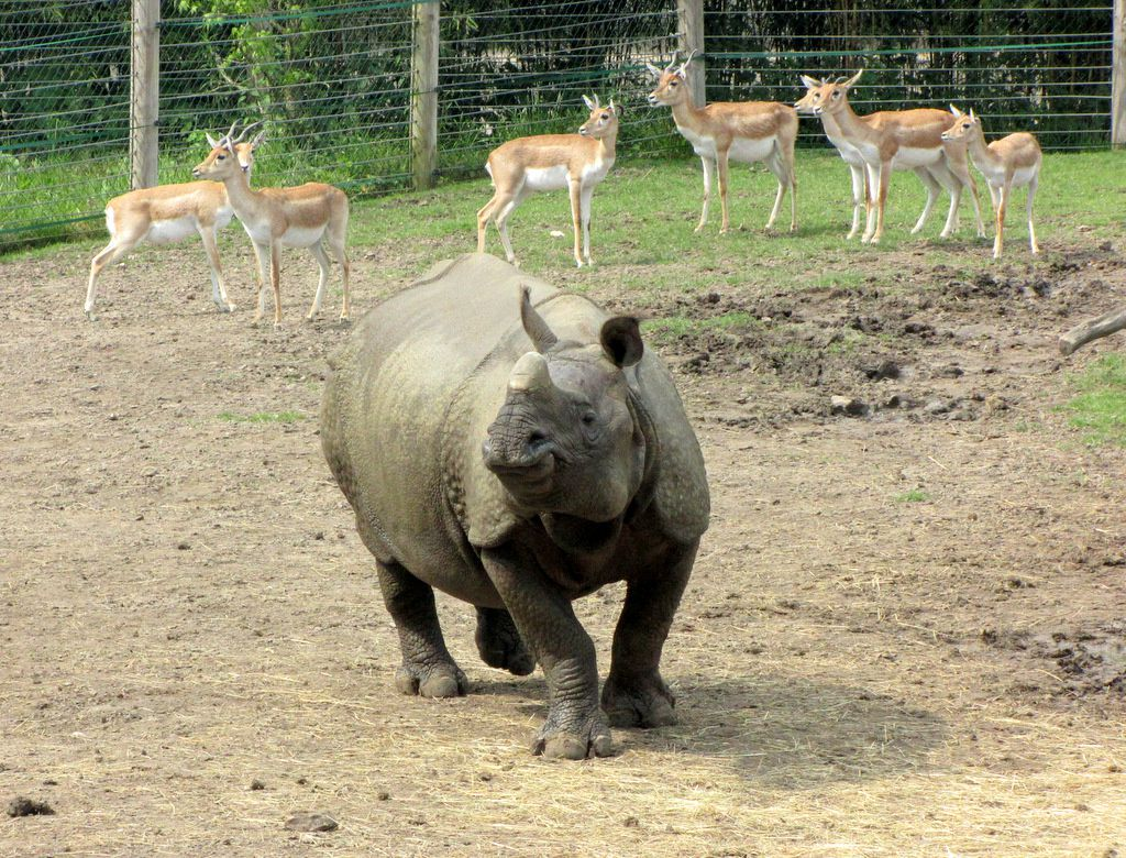 Zooparc de Beauval, Rhinocéros indien