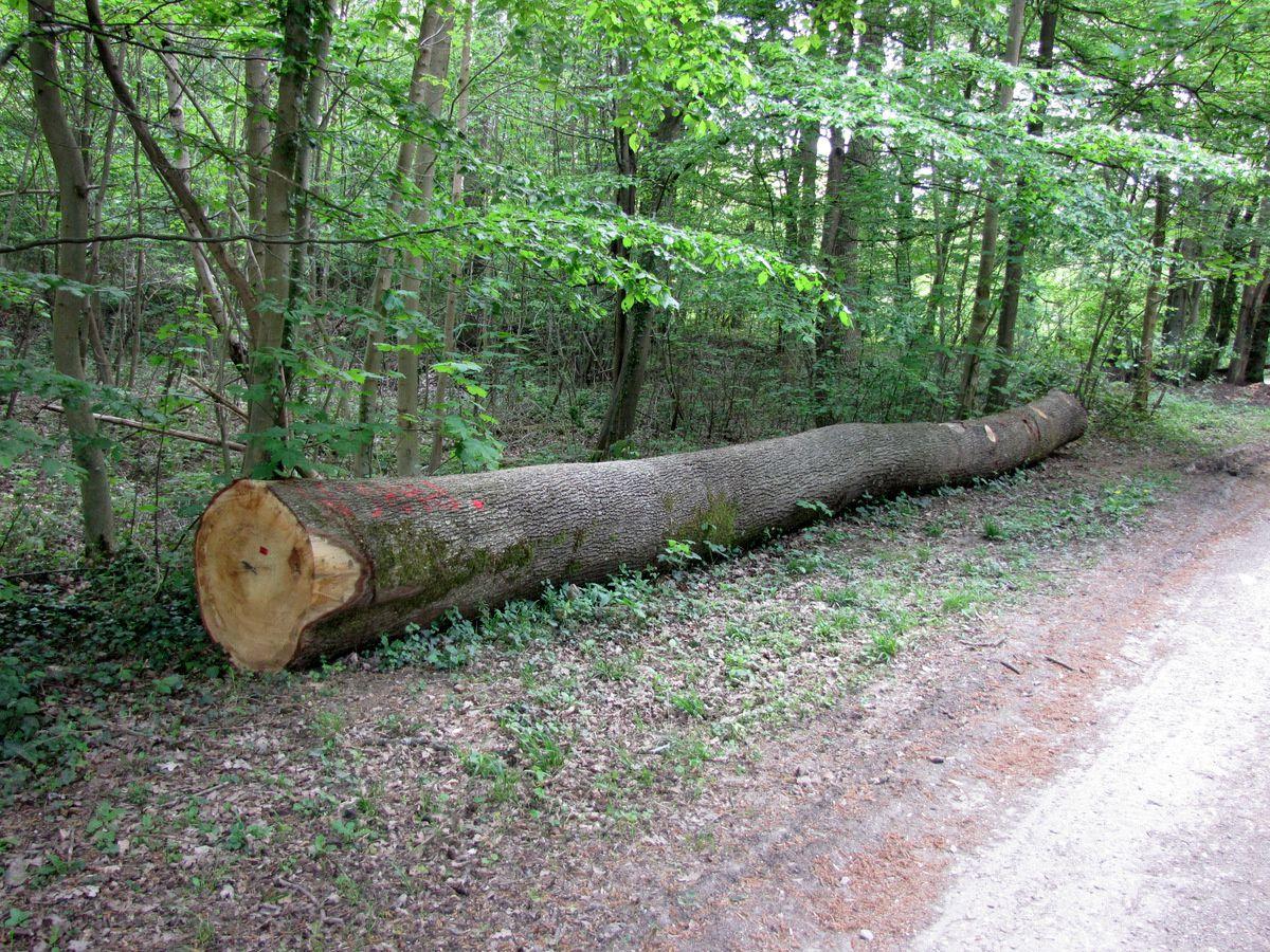 Parc de Marly, arbres abattus