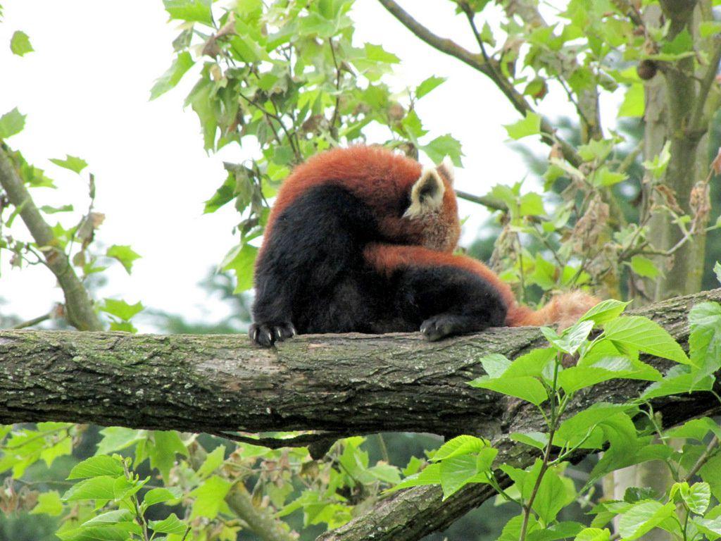 Zooparc de Beauval, Panda roux
