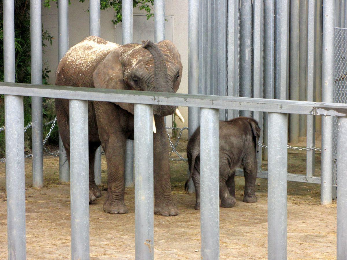 Zooparc de Beauval, bébé éléphant